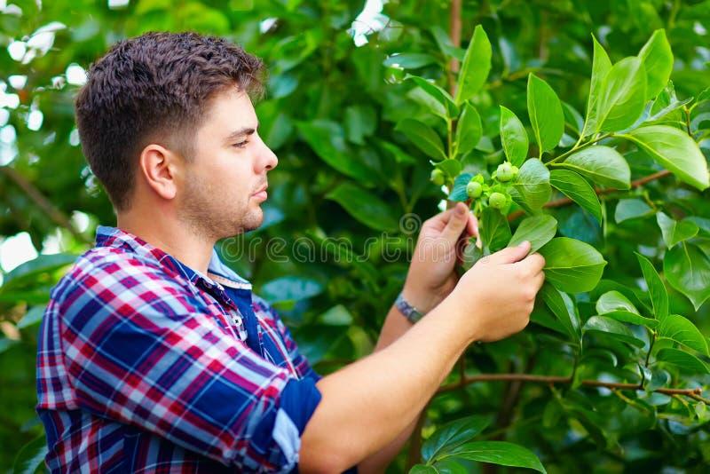 Молодой человек заботит для дерева хурмы в саде плодоовощ стоковые изображения