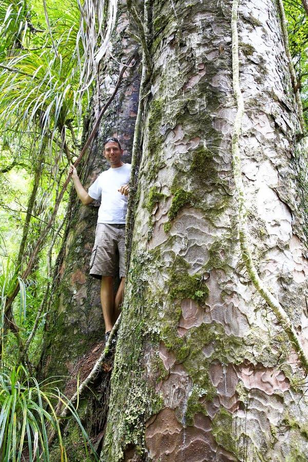 Молодой человек стоя между 2 гигантскими деревьями в лесах Kauri стоковые изображения