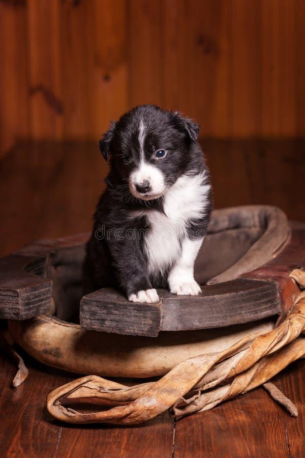 Молодой щенок Коллиы границы стал передними лапками на старой струбцине стоковая фотография