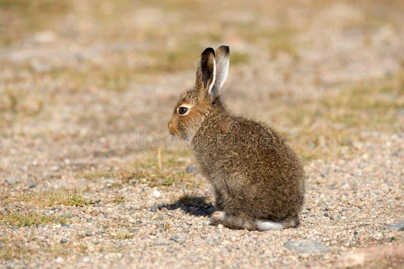 Молодой Lepus Timidus зайцев горы греясь в лучах осени Солнця Зайцы тундры или белые зайцы в лете Pelage в Nat стоковые фотографии rf