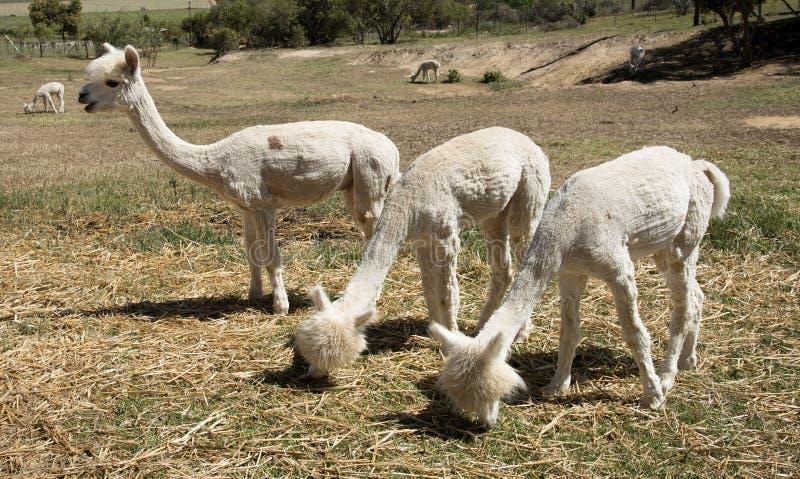 Молодые альпаки подавая Южная Африка стоковая фотография rf