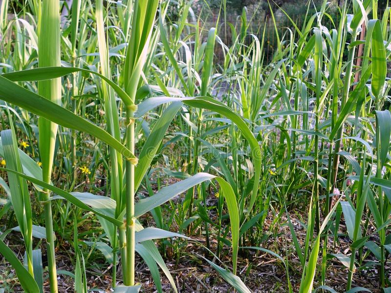 Молодые бамбуковые всходы стоковые фотографии rf