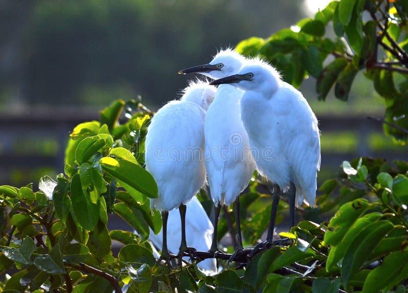 Молодые большие Egrets (Ardea alba) в гнезде стоковые изображения rf