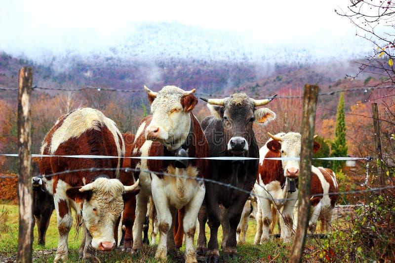 молодые быки стоковые фото