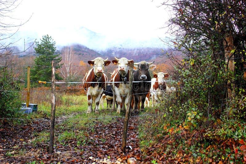 молодые быки стоковое фото