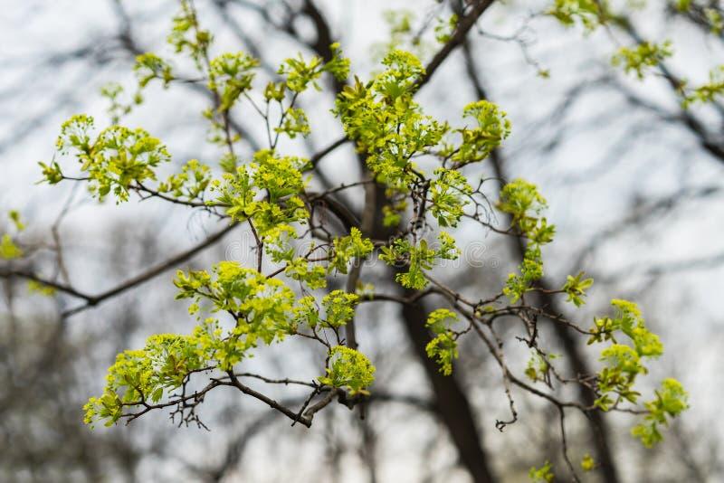 Молодые ветви дерева конец-вверх, концепция предыдущей весны, сезонов, погоды Современный естественный дизайн обоев или знамени стоковые фотографии rf