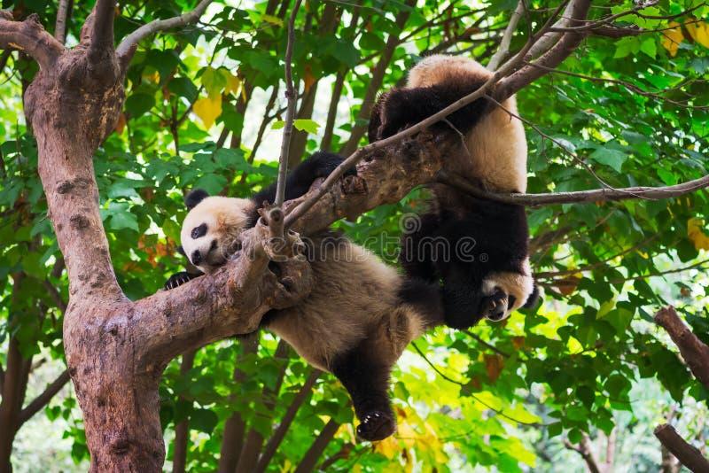 Молодые гигантские панды играя в дереве стоковое изображение