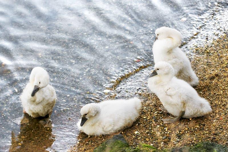 Молодые лебеди на береге озера на заходе солнца стоковое изображение