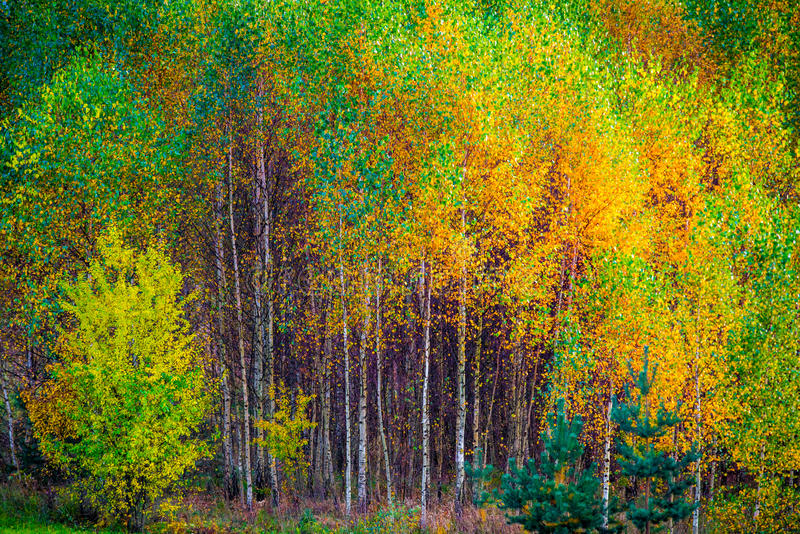 Молодые деревья березы в падении стоковая фотография rf