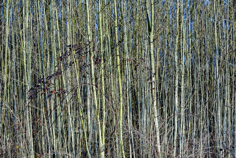 Молодые деревья в лесе любят занавес стоковые изображения