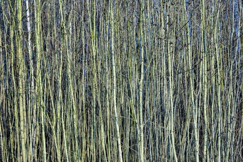 Молодые деревья в лесе любят занавес стоковое изображение rf