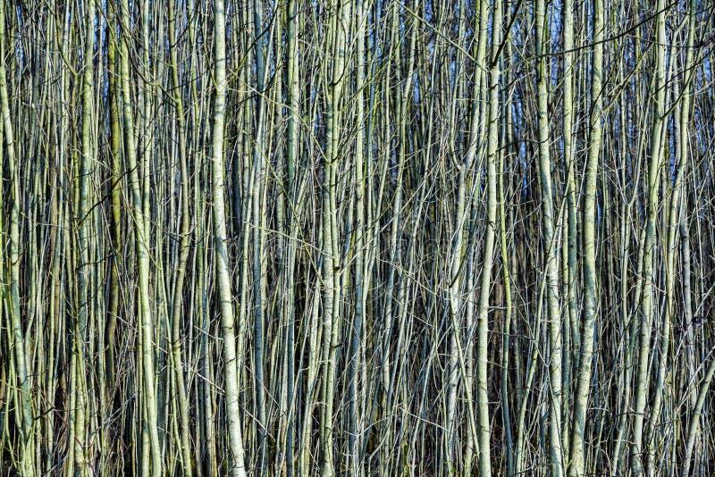 Молодые деревья в лесе любят занавес стоковое фото