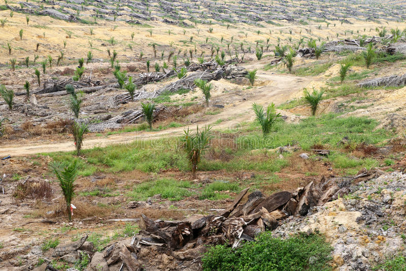 Молодые деревья масличной пальмы засаженные на освобоженной земле - серии 2 стоковые изображения rf