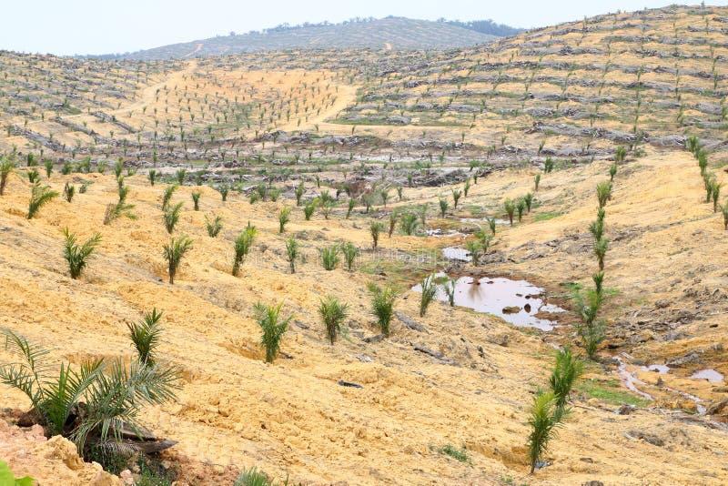 Молодые деревья масличной пальмы засаженные на освобоженной земле - серии 3 стоковая фотография