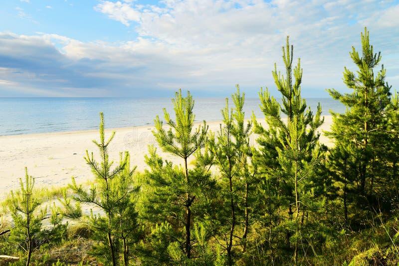 Молодые деревья sylvestris Pinus Scots или шотландской сосны растя на дюнах приближают к Балтийскому морю стоковое изображение