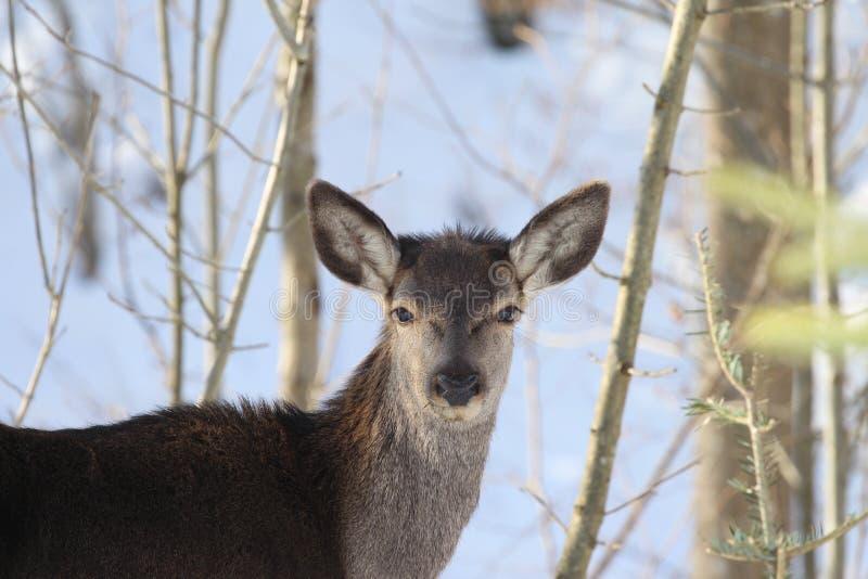 Молодые женские олени стоковое изображение