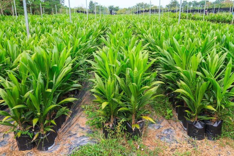 Молодые заводы пальмового масла стоковые фото