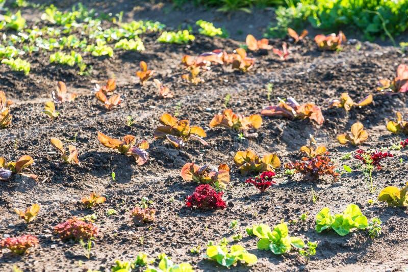 Молодые заводы салата на заплате огорода стоковые фотографии rf