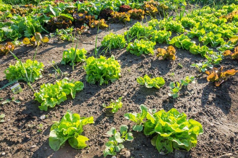 Молодые заводы салата на заплате огорода стоковое изображение