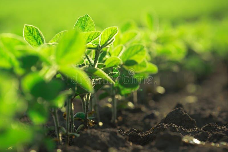 Молодые заводы сои растя в культивируемом поле стоковые фото