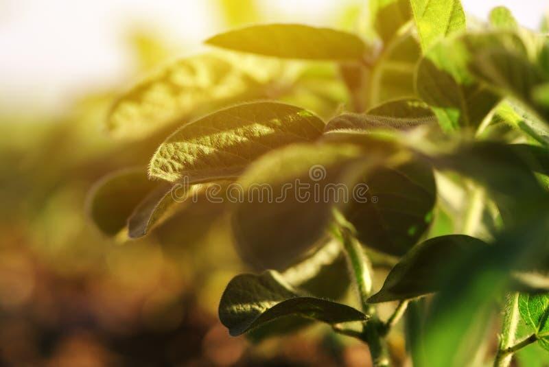 Молодые заводы сои стоковое фото rf