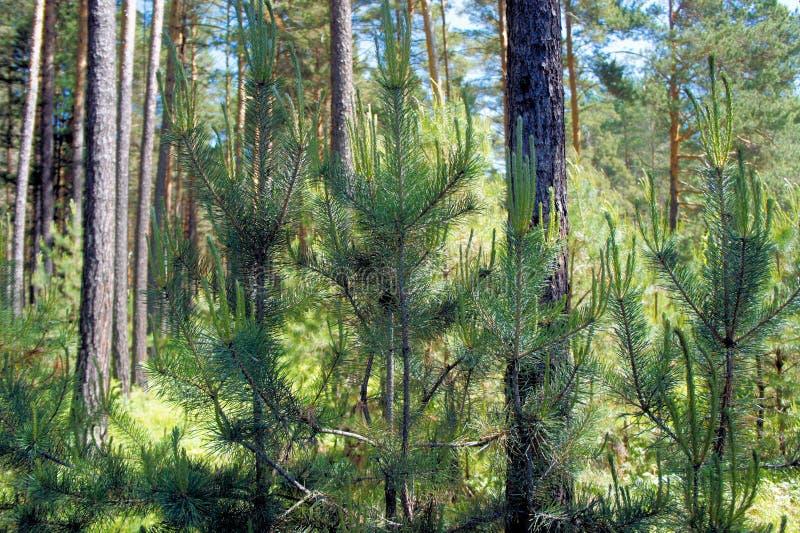 Молодые зеленые деревья в сосновом лесе стоковая фотография
