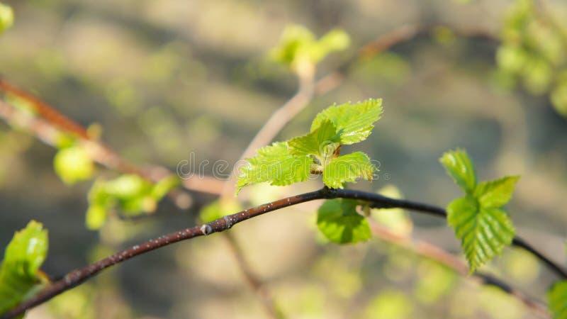 Молодые зеленые листья березы Справочная информация абстракция стоковое фото