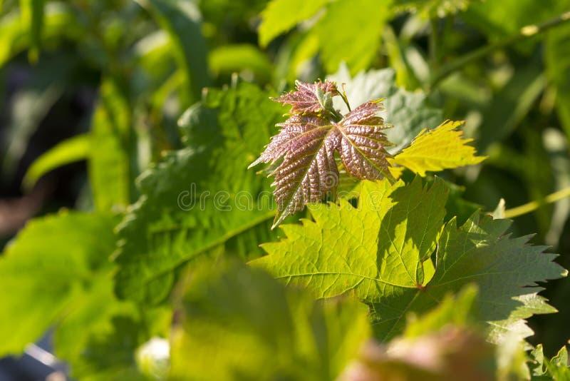 Молодые листья виноградины на зеленой предпосылке стоковое изображение
