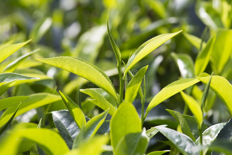 Молодые листья зеленого цвета & бутон лист дерева чая на плантации в Nuwara Eliya, Шри-Ланке стоковые фото