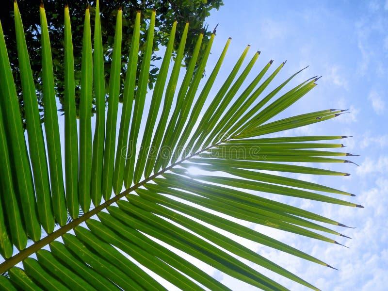 Молодые лист ладони кокоса на предпосылке голубого неба. стоковые фото