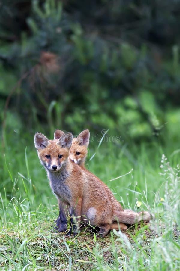 Молодые лисы в расчистке стоковая фотография