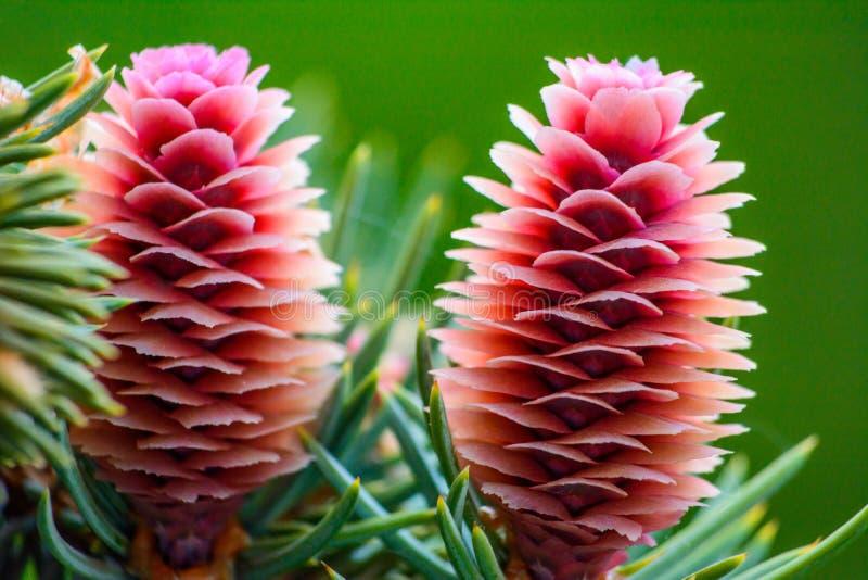 Молодые красивые розовые конусы ели на ветви стоковые фотографии rf