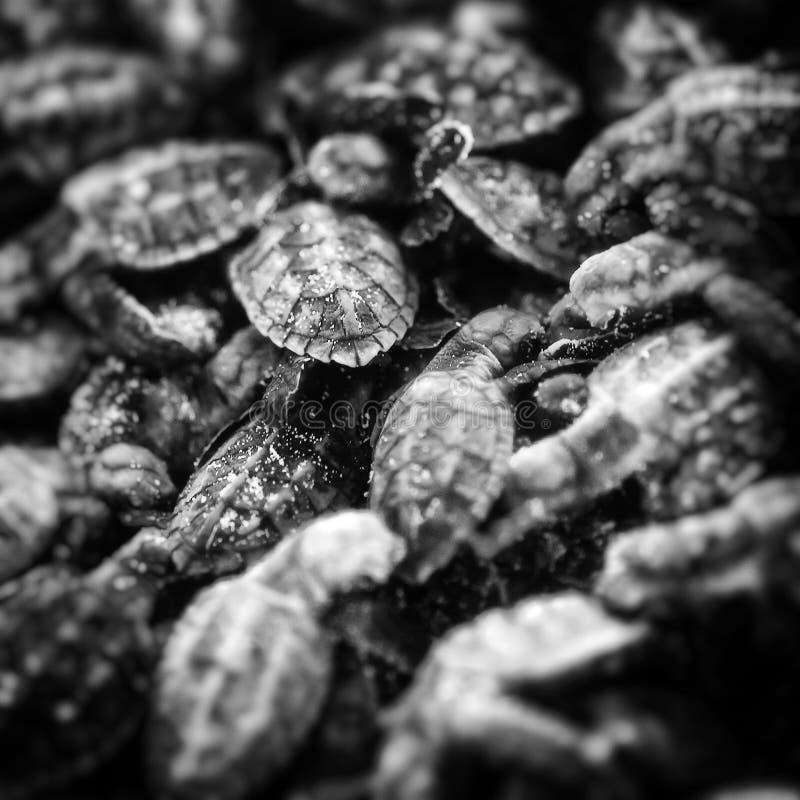 Молодые морские черепахи стоковое изображение