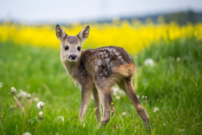 Молодые одичалые олени косуль в траве, capreolus Capreolus стоковое фото rf