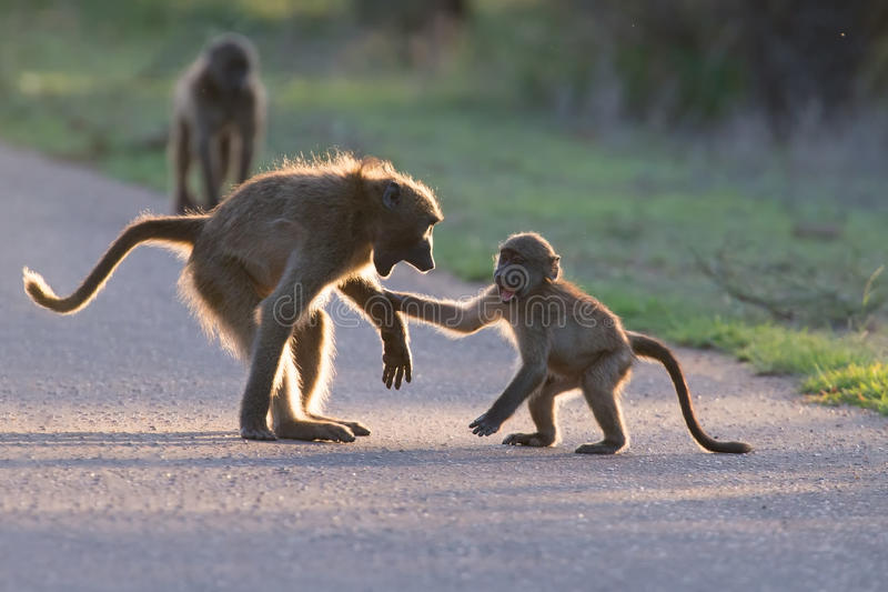 Молодые павианы играя в дороге поздно вечером перед идти назад стоковая фотография