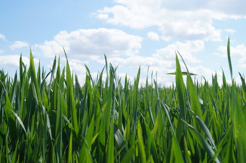 Молодые пшеница и небо стоковое изображение