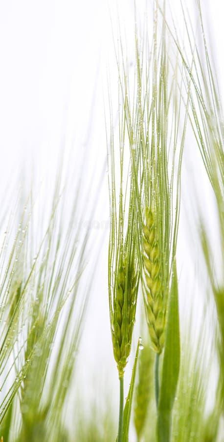 Молодые пшеница и роса III стоковые изображения rf