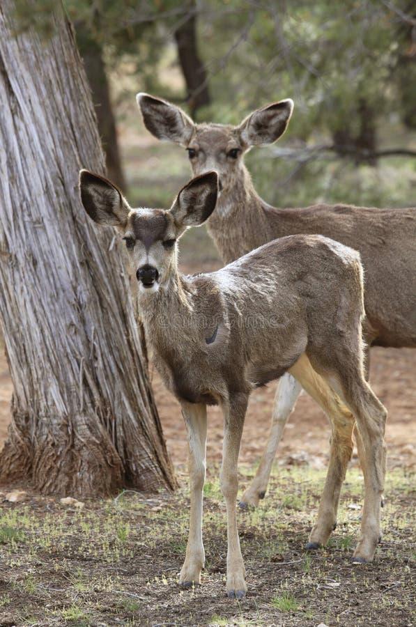 Молодые пыжик или олень и это мать стоковое фото rf