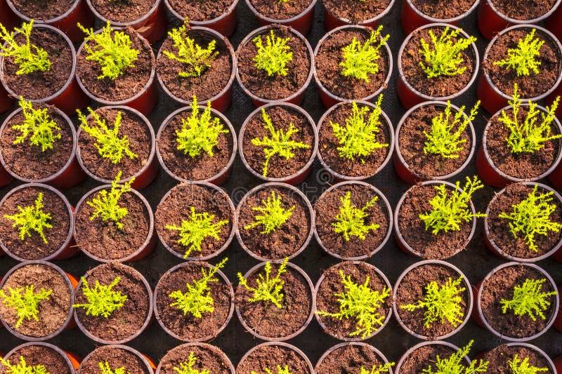 Молодые ростки хвои в баках стоковая фотография