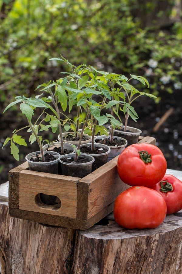 Молодые саженцы томата стоковое фото rf