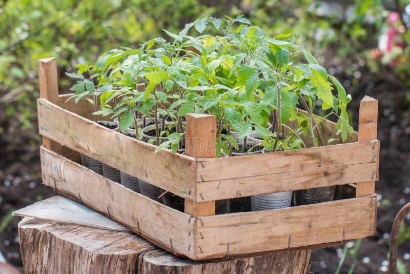 Молодые саженцы томата стоковое фото