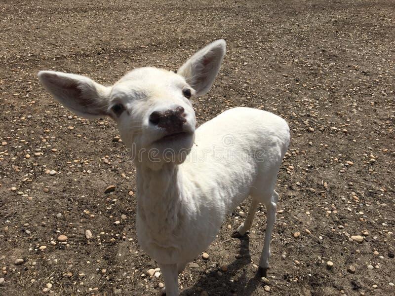 Молодые стриженые овцы стоковые изображения rf