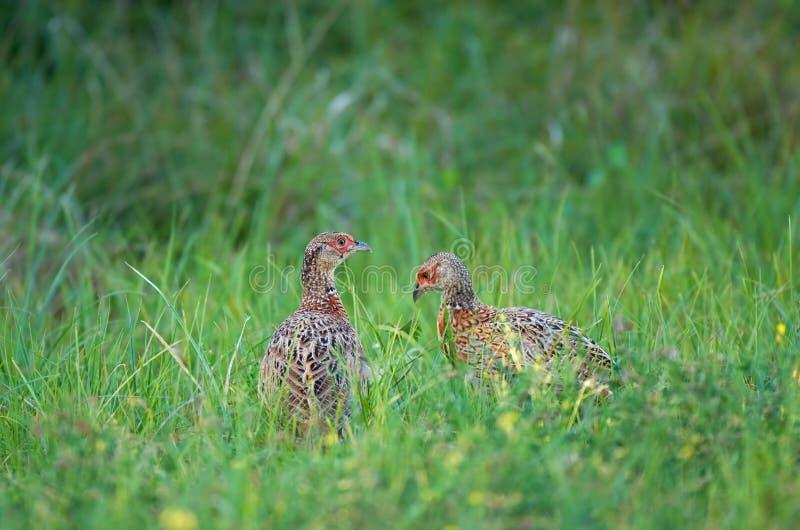 Молодые фазаны стоковое фото rf