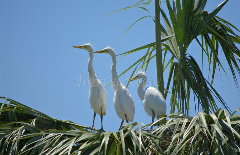 3 молодых больших Egrets стоковые изображения rf