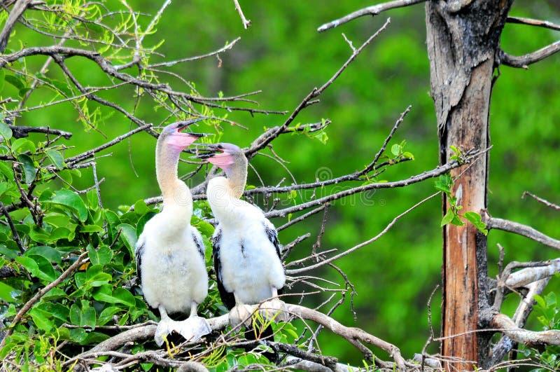 2 молодых птицы американской змеешейки в заболоченном месте стоковые фото