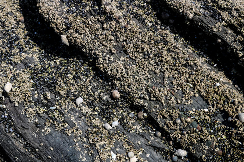 Моллюск и щипцы на прибрежной горной породе стоковая фотография rf