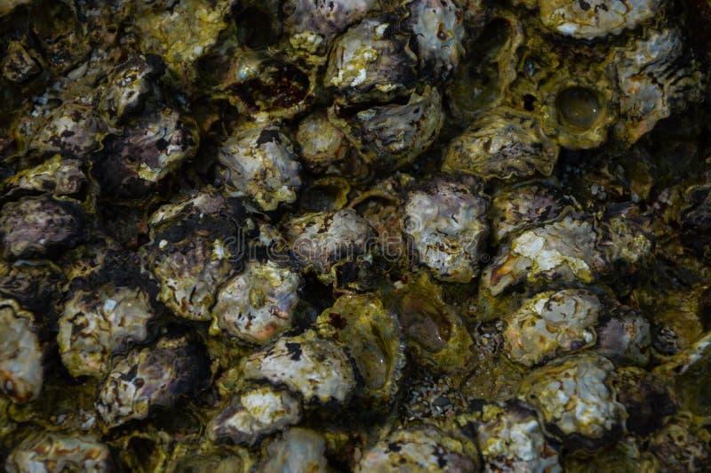 Моллюск на рифе стоковое фото