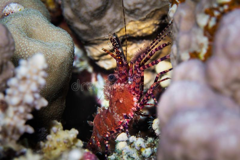 Мраморизованное marmoratus Saron креветки сидя в конце crevice вверх стоковая фотография rf
