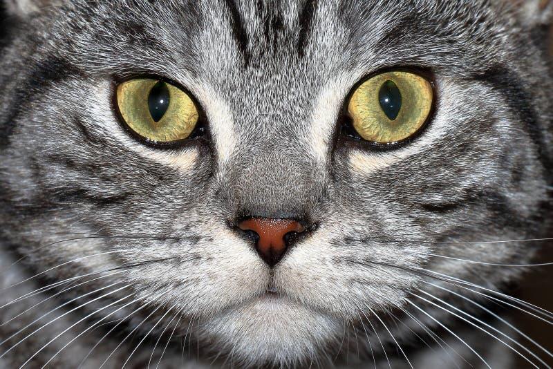 Мраморный великобританский кот стоковая фотография