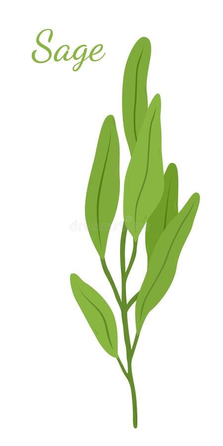 Мудрые листья, трава salvia органическая Стиль шаржа плоский также вектор иллюстрации притяжки corel иллюстрация вектора
